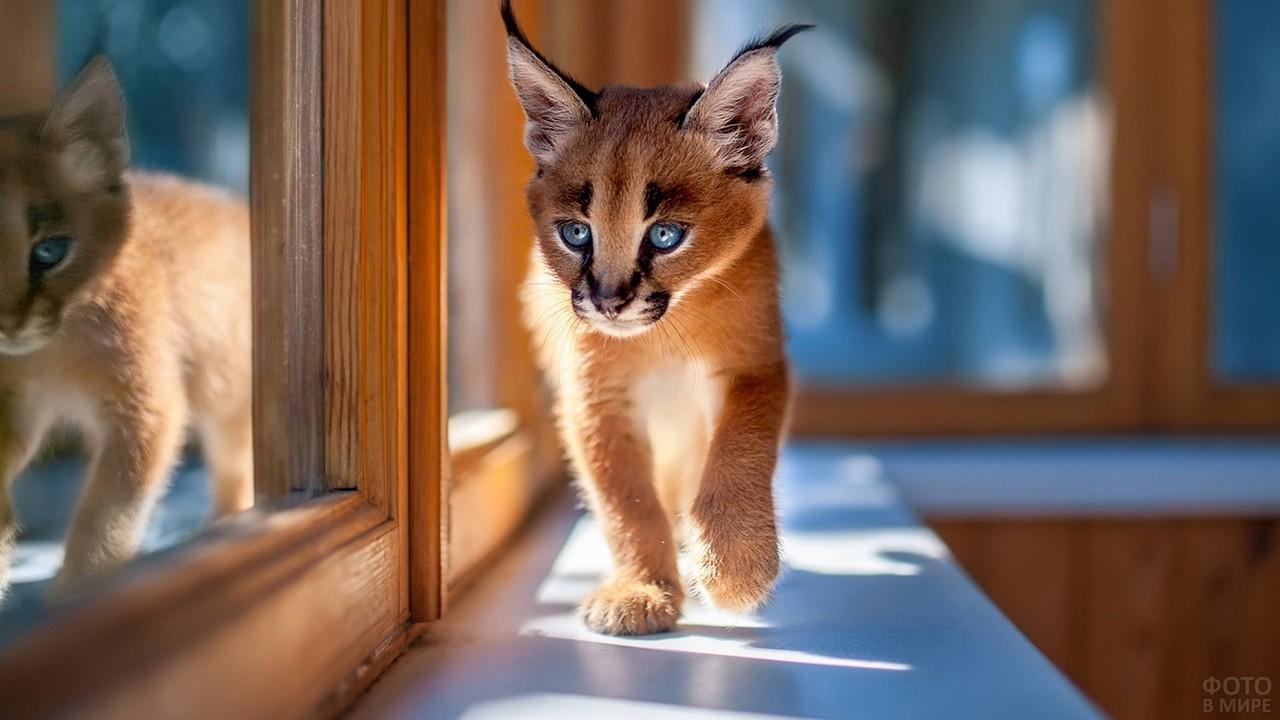 Котёнок каракала на подоконнике