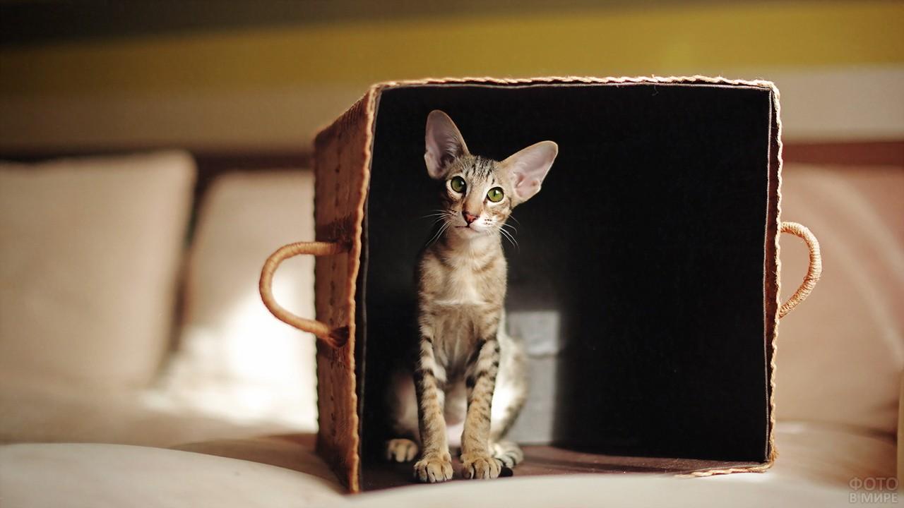 Ориентальный котёнок в коробке
