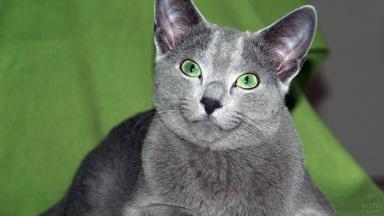 Русская голубая кошка с зелёными глазами