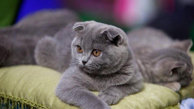 Шотландская кошка на подушке