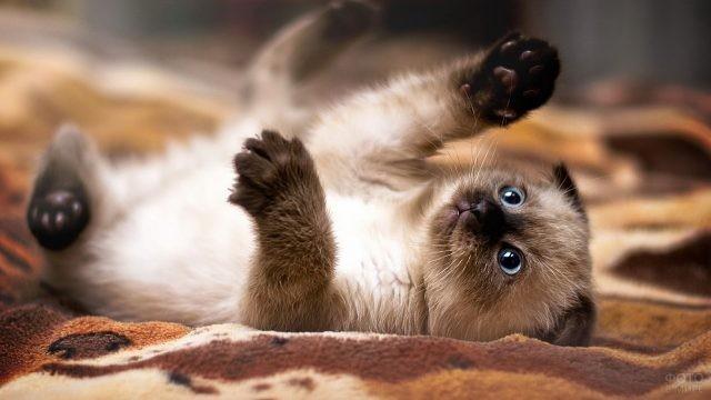 Сиамский котёнок на одеяле