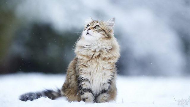Сибирский кот на снегу