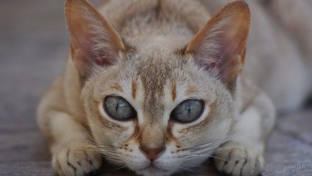 Сингапурский кот на тротуаре