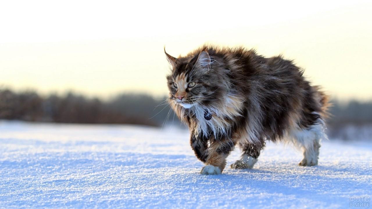 Суровый мейн-кун на снегу