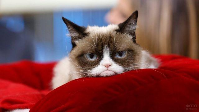 Знаменитый кот на красной подушке