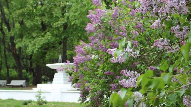 Цветущая сирень в весеннем Нескучном саду