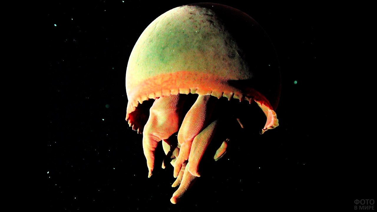 Глубоководная медуза с метровым куполом