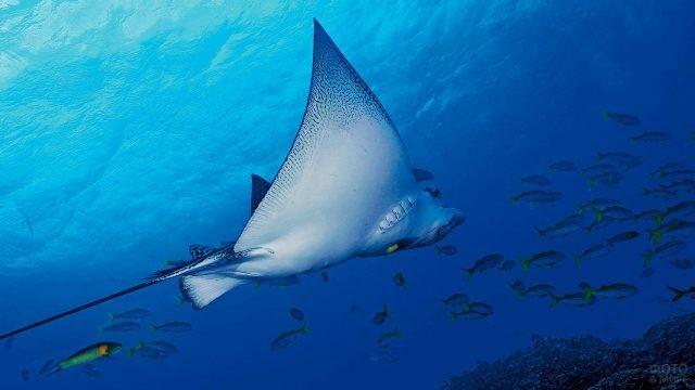 Электрический скат и стая рыбок в водах Тихого океана