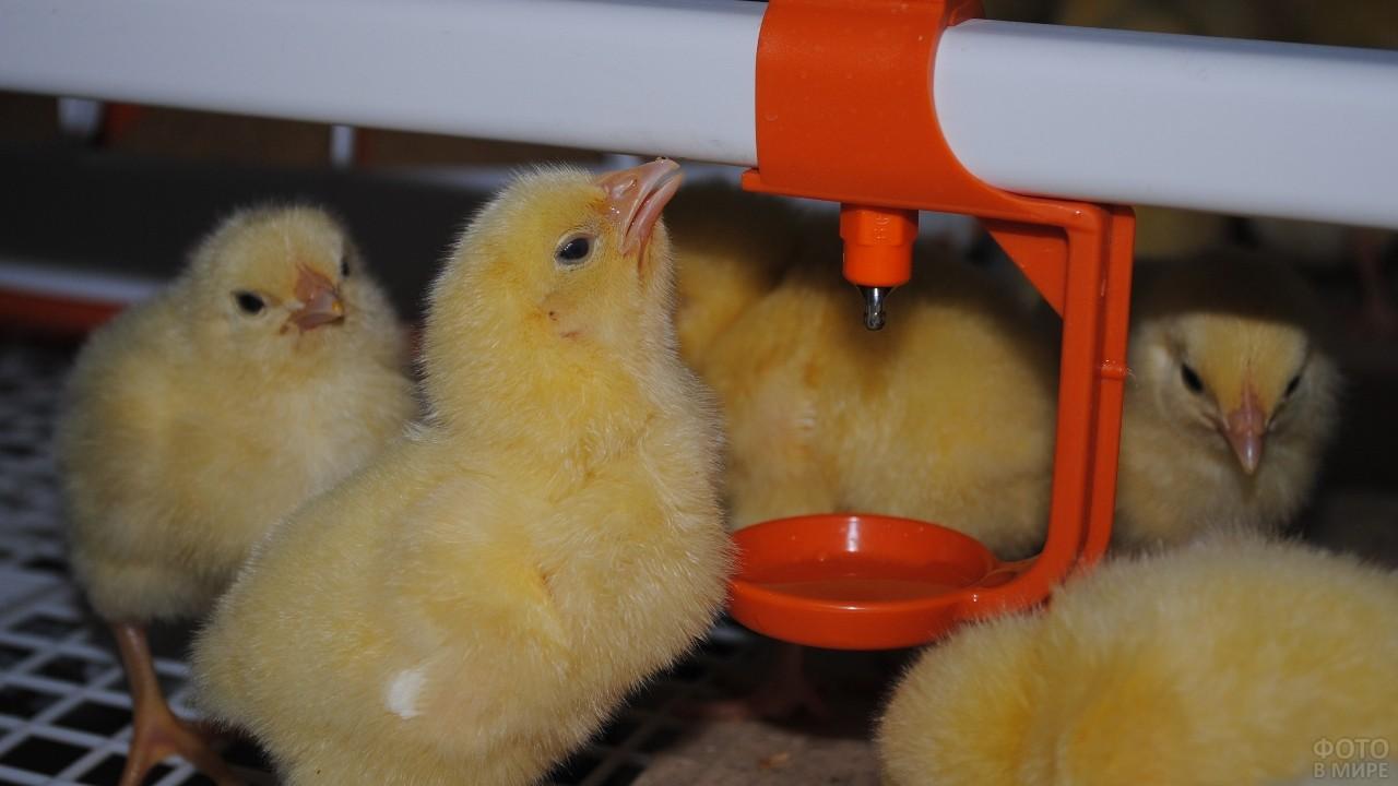 Цыплята пьют воду с автопоилки
