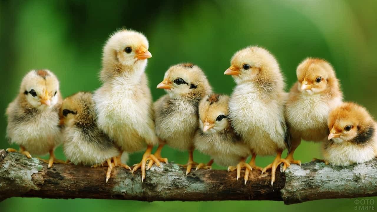 Цыплята сидят на ветке