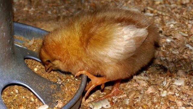 Цыплёнок клюёт зёрнышко