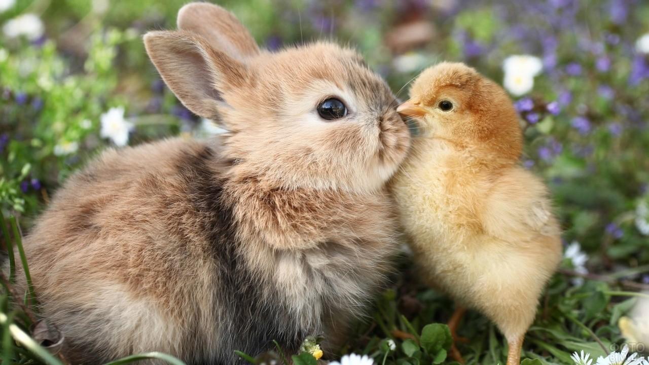 Цыплёнок с крольчонком нос к носу