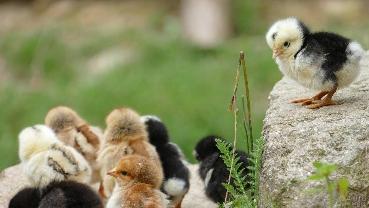 Цыплёнок сидит на большом камне на другими цыплятами