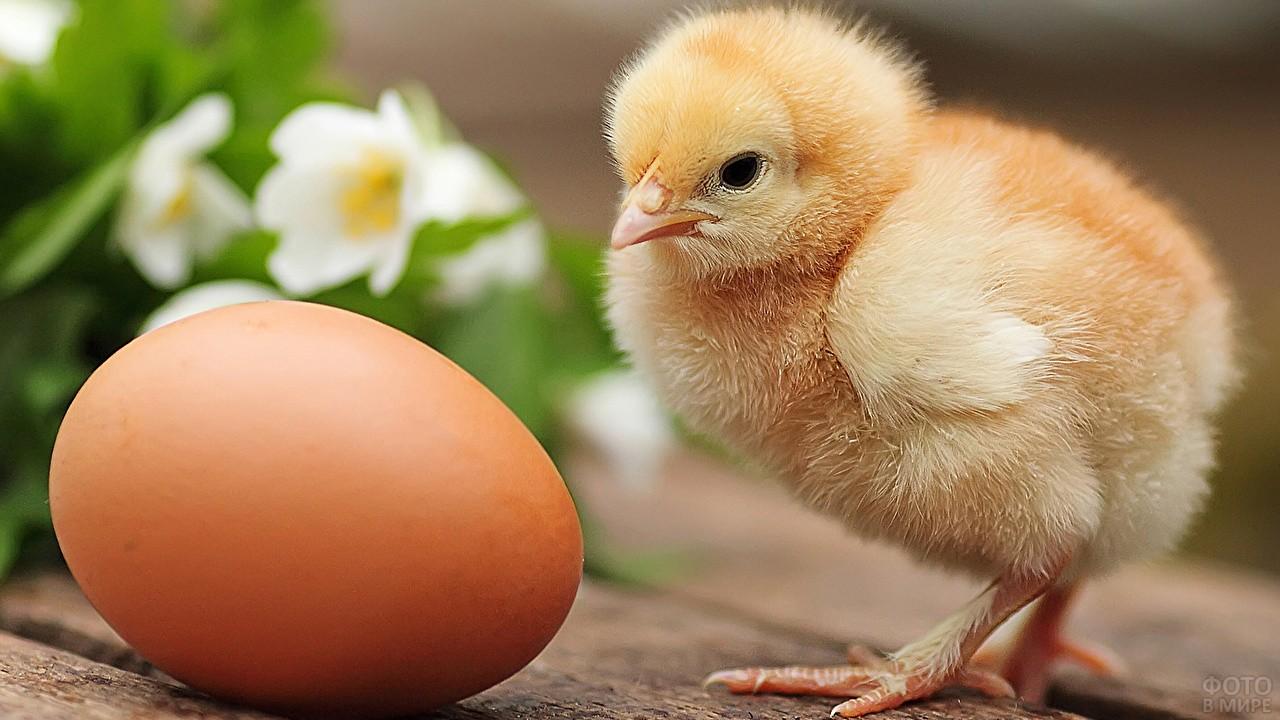 Цыплёнок смотрит на яйцо