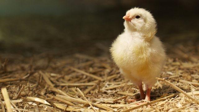Цыплёнок стоит с гордо поднятой головой