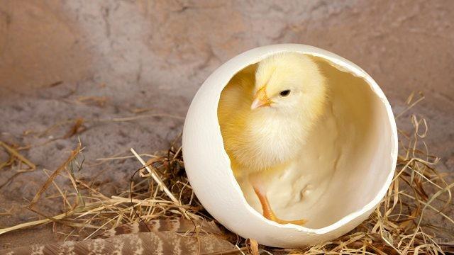 Цыплёнок вылупился из яйца