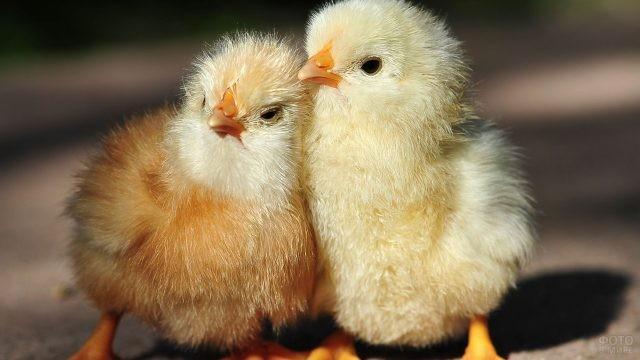 Два цыплёнка поддерживают друг друга