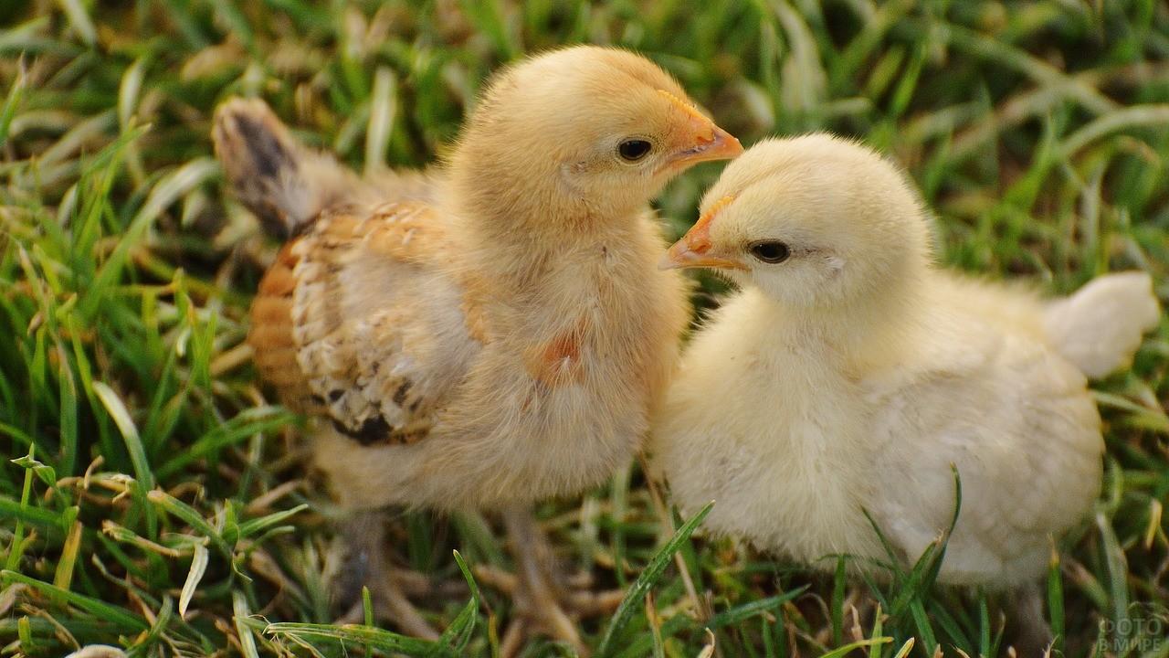 Два цыплёнка с нежностью смотрят друг на друга