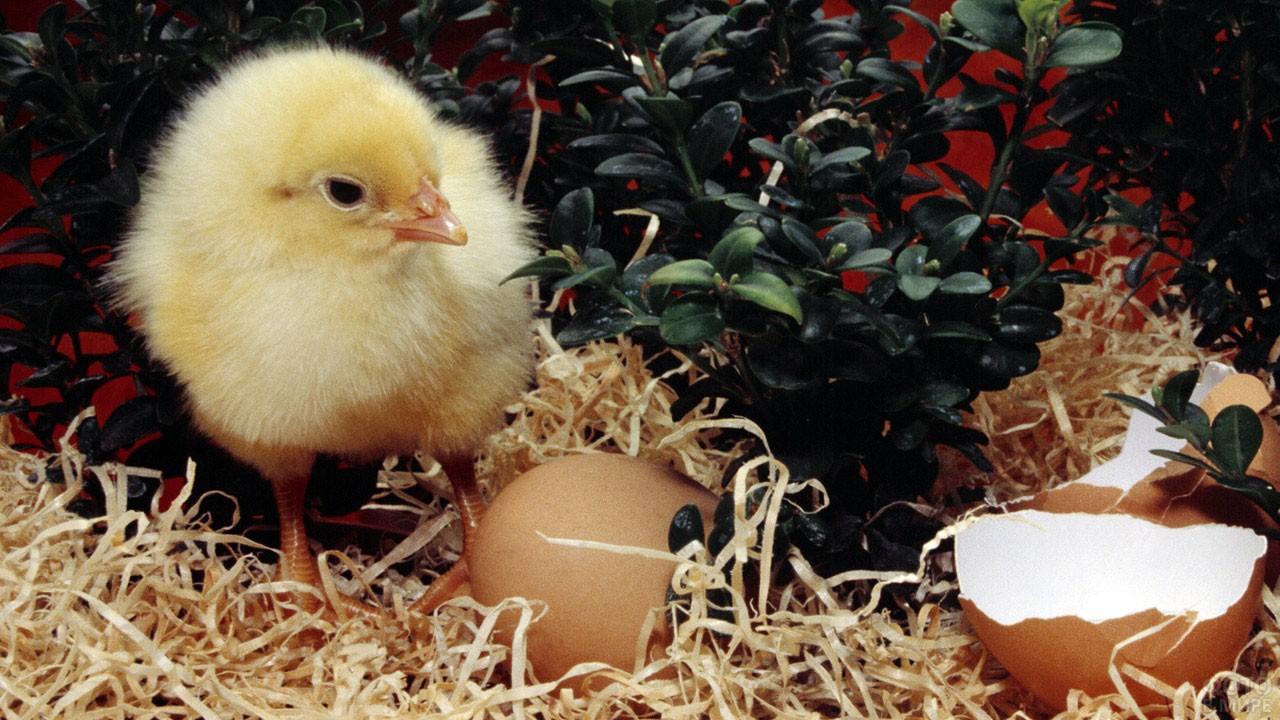 Маленький цыплёнок смотрит на скорлупу яйца
