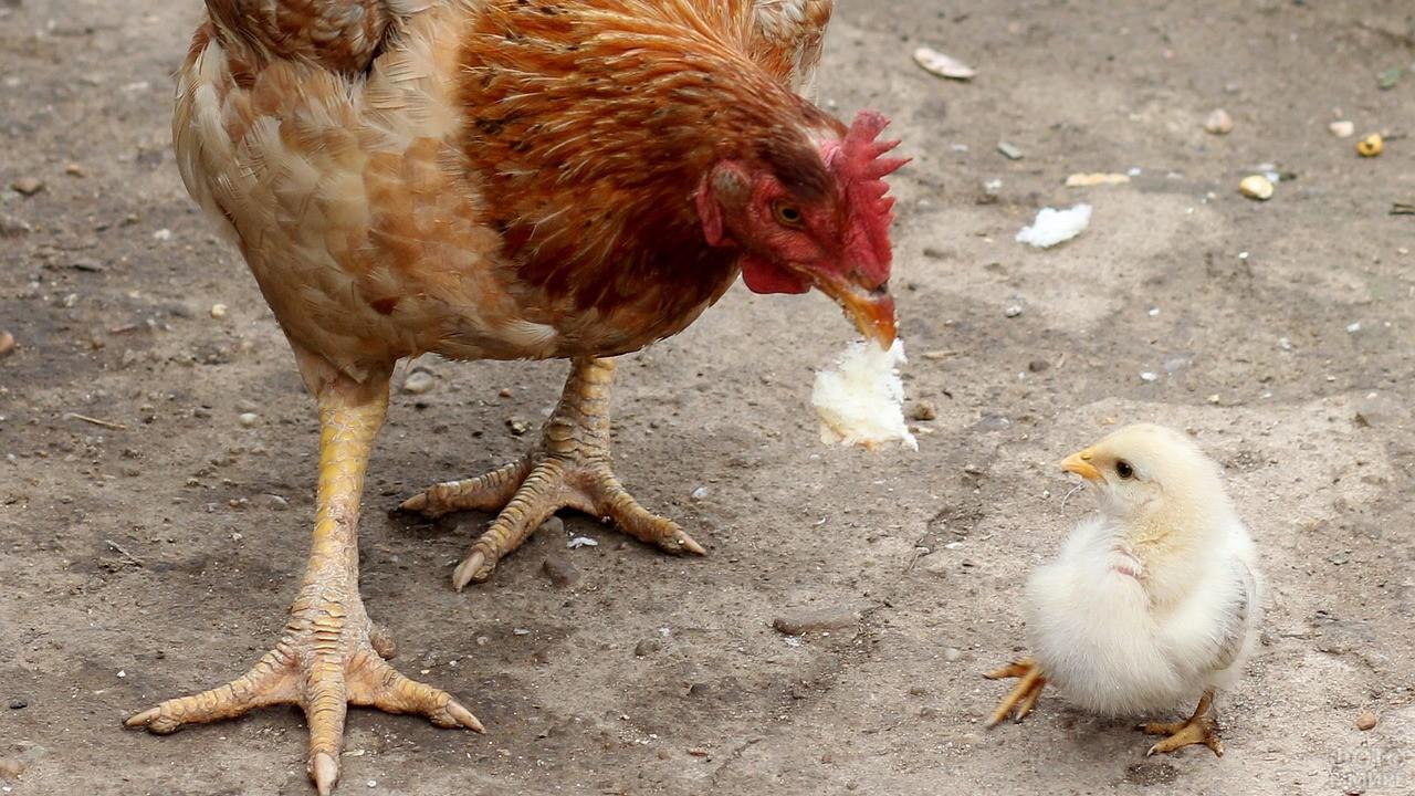 Мама-курица даёт еду цыплёнку
