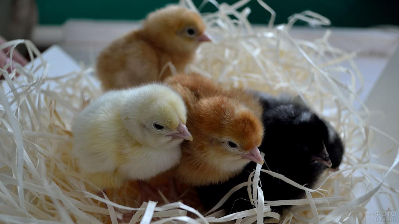 Птенцы курицы сидят в гнезде из стружки