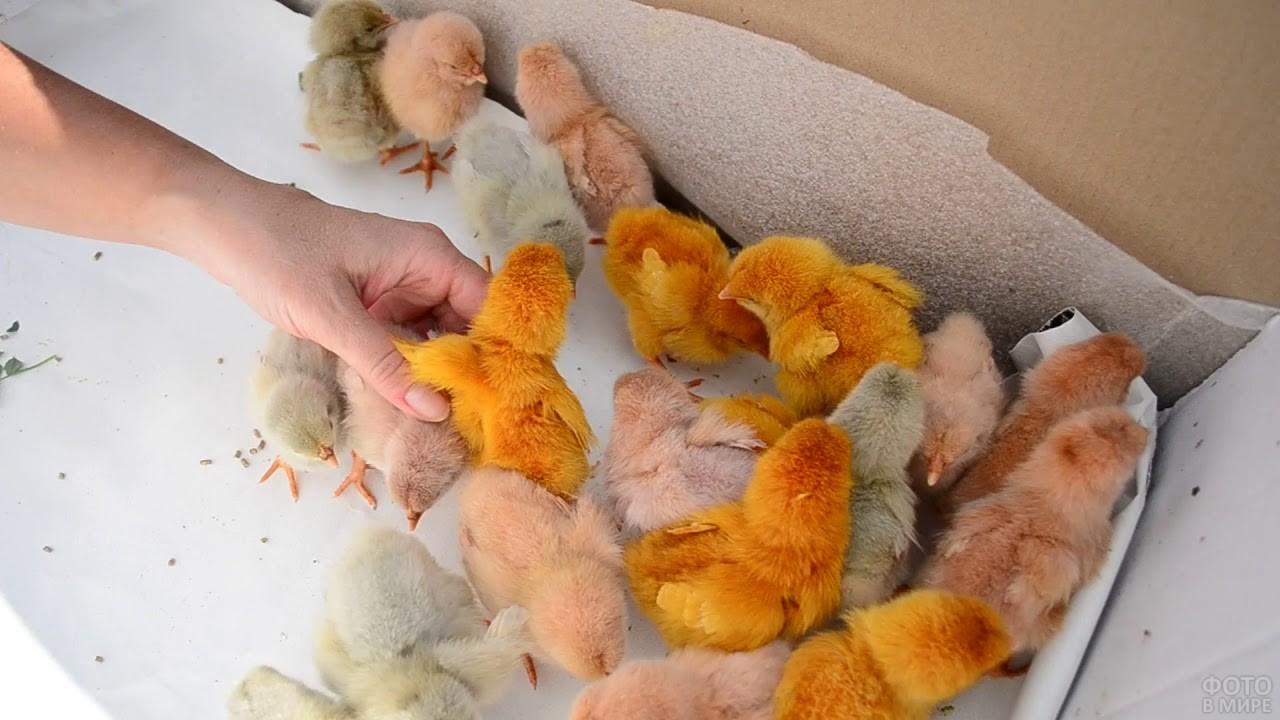 Разноцветные цыплята в коробке