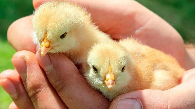 Вылупившиеся цыплята находятся в надёжных руках