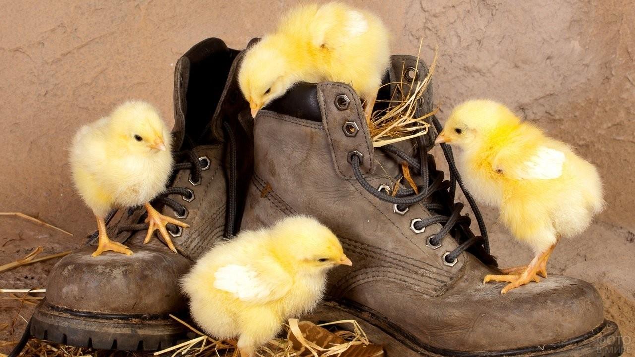 Желторотые птенчики курицы залезли на ботинки
