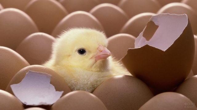 Жёлтый птенчик высунул голову из яиц