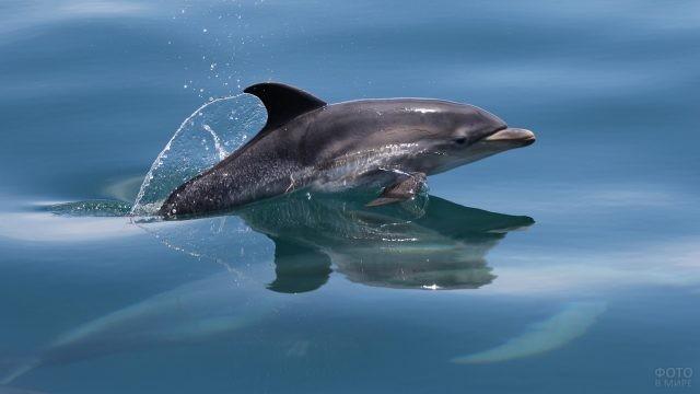 Дельфин плывёт по поверхности воды