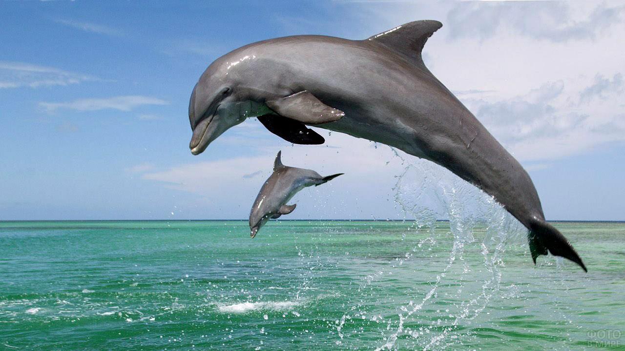 Дельфин учит дельфинёнка прыгать