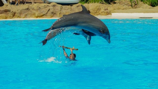 Дельфины прыгают через шест