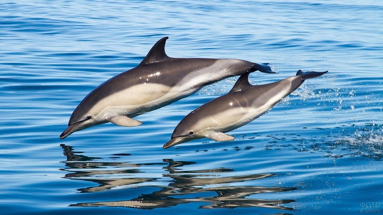 Два дельфина летят над водой