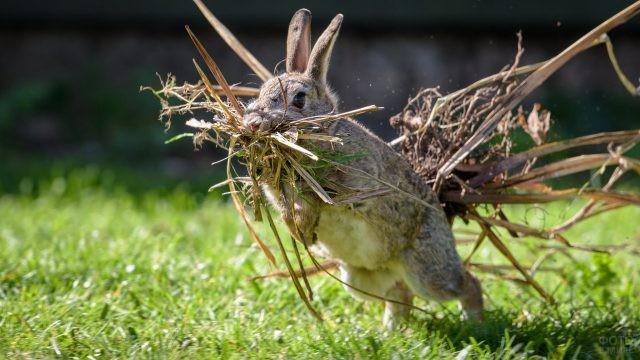 Представитель семейства зайцеобразных бежит с травой