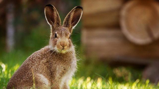 Ушастый заяц смотрит в камеру