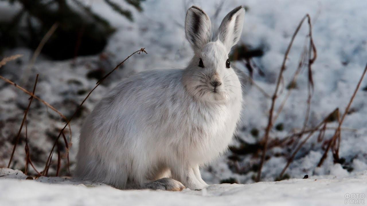 Заяц Беляк сидит на снегу