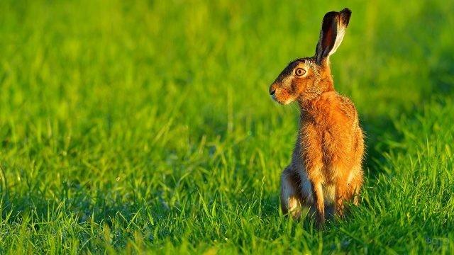 Заяц присел на задние лапы