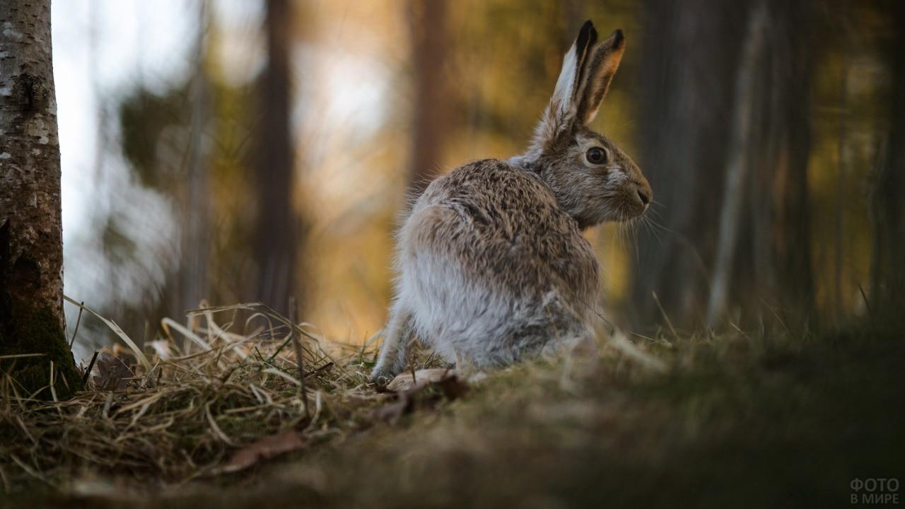 Заяц смотрит по сторонам