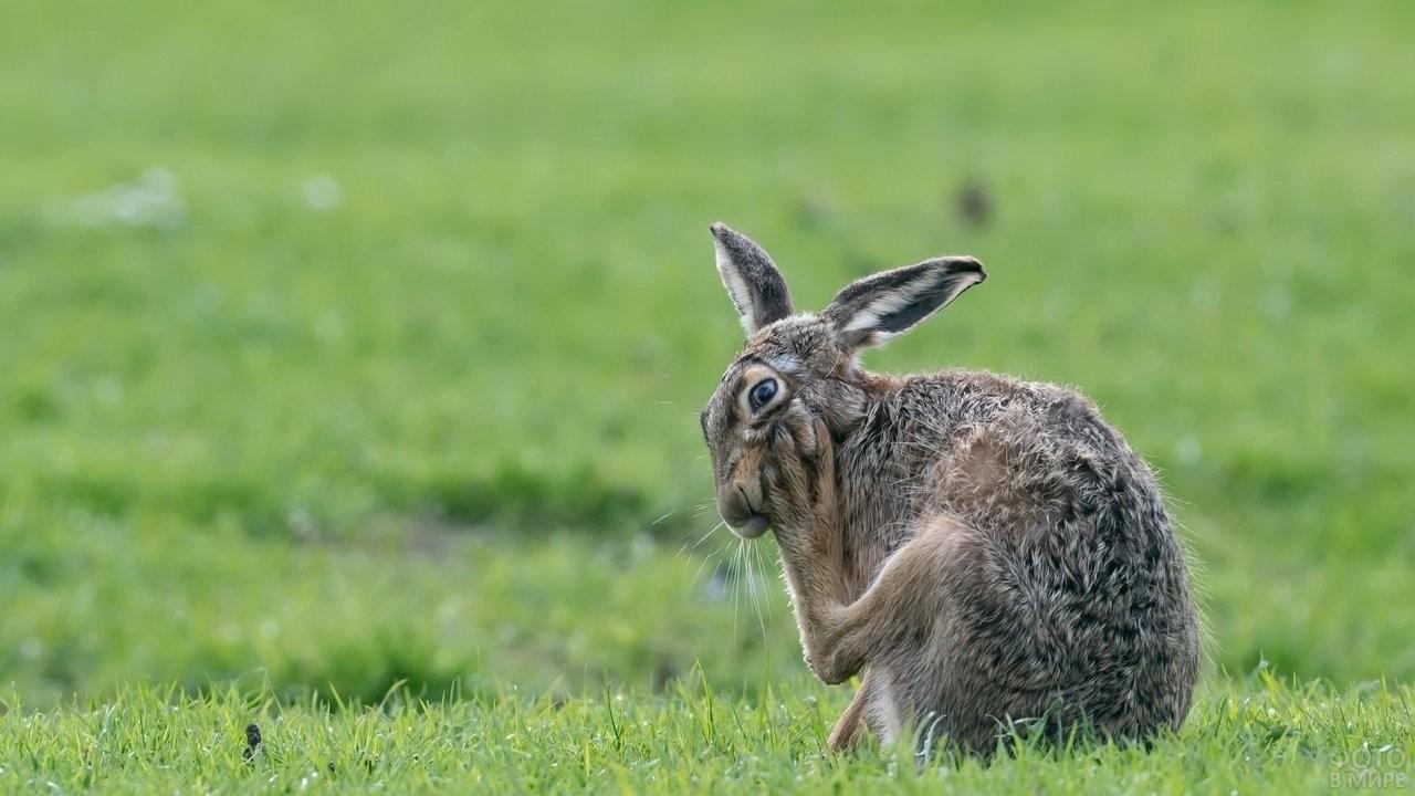 Заяц собирается почесать за ухом