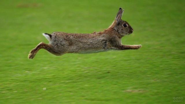 Заяц совершает прыжок