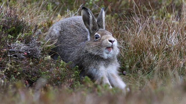 Заяц вытянул передние лапы