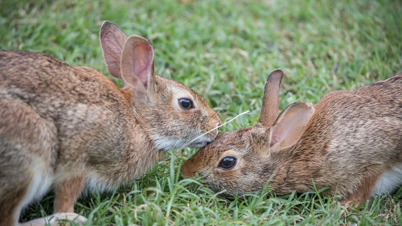 Зайчиха вылизывает зайчонка