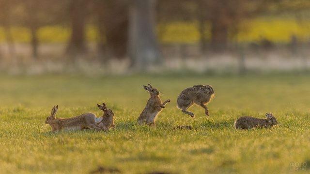 Зайцы прыгают на поляне