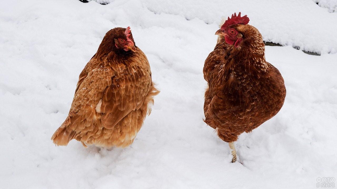 Две рыжих курицы на снегу