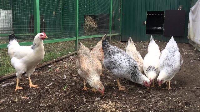 Юрловские куры на птичьем дворе