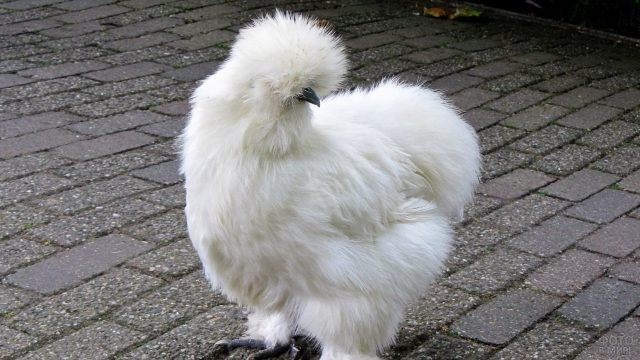 Китайская шелковистая курица на тротуарной плитке