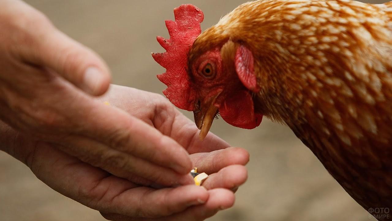 Курица клюёт зерно из рук