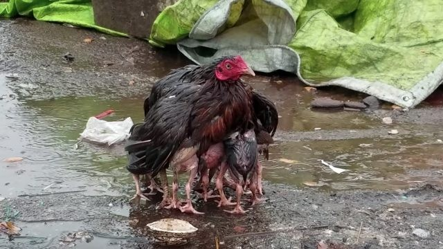 Курица-мама укрывает своих птенчиков от дождя