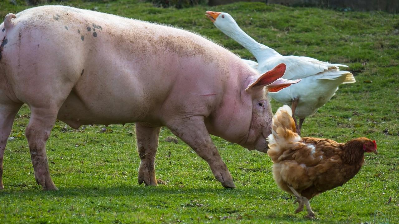 Курица рядом со свиньёй и гусём