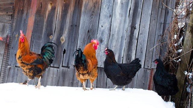 Курицы с петухами ходят по снегу